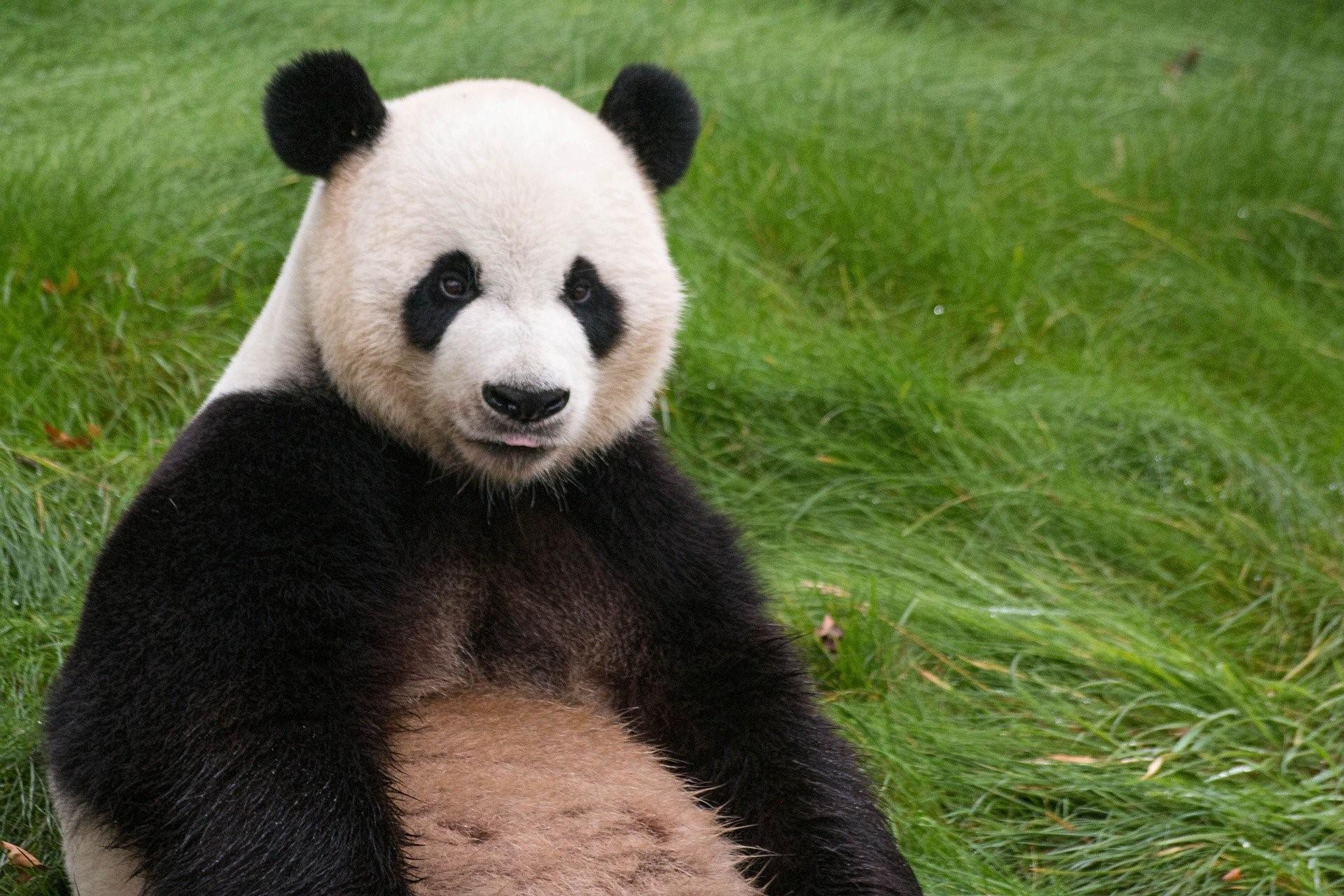 pairi daiza panda